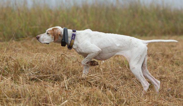 Best Pointing Dog Breeds